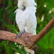 Stock Photo: Sulphur-crested cockatoo