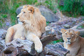 Young lions — Stock Photo