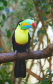 Colorful tucan — Stock Photo