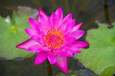 Violet lotus — Stock Photo