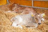 Tiny calf — Stock Photo