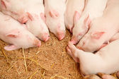 Young pigs — Stock Photo