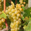 Yellow grapes — Stock Photo #13208918