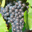 Blue grapes — Stock Photo #13209067