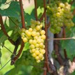 Yellow grapes — Stock Photo #13209102