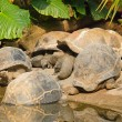 Galapagos Giant Tortoises — Stock Photo