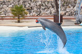 Bottlenose dolphin — Photo