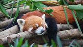 Röd panda (firefox) — Stockfoto