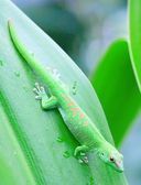 Green gecko — Stock Photo