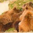 Stock Photo: Brown bear and cubs