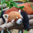 Stock Photo: Red pand(firefox)