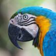 Blue-and-yellow Macaw (Ara ararauna) — Stock Photo #17381049