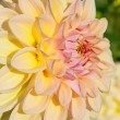 Dahlia flower — Stock Photo