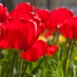 Tulpen — Stockfoto #21759587