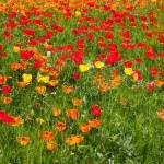 Tulpen — Stockfoto #21759593