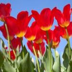 tulipani — Foto Stock #21759631