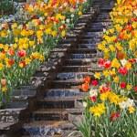 Tulpen — Stockfoto #21759701