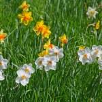 Нарцисс цветок — Стоковое фото