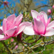 Magnolia — Stock Photo #21759893