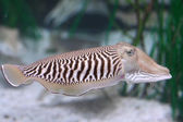 Cuttlefish — Stock Photo