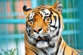 Tiger portrait — Stock Photo