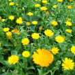 Stock Photo: Calendula