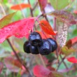 Stock Photo: Black chokeberry berries