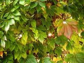 Green leaves and branches of a tree — Stok fotoğraf