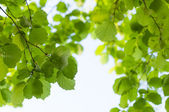 Green leaves backgroun — Stock Photo