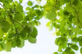 绿色的树叶出让 — 图库照片