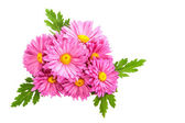 Chrysanthemums. — Stock Photo