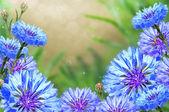 Cornflowers with a beautiful background. — Stock Photo