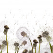 Field with white dandelions — Stock Photo #12356288