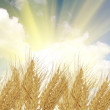 Ears of wheat and sun - Stock Photo