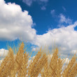 Ears of wheat and blue sky — Stock Photo