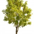 Green isolated small tree on white — Stock Photo