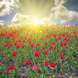 Red tulip field at sunset — Stock Photo