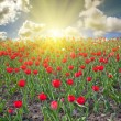Red tulip field at sunset — Stock Photo #24180337