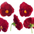 图库照片: Red pansy flower from different sides