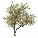 Isolated blooming light apple-tree — Stock Photo #24180365