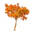 Red and gold autumn maple tree on white — Stock Photo #24180393