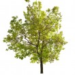 Green spring oak tree isolated on white — Stock Photo #24180405