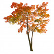Red autumn maple tree isoalted on white - Stock Photo