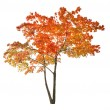Red isolated autumn maple tree — Stock Photo #24180433