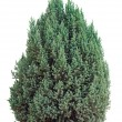 Small evergreen tree on white — Foto Stock