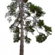 Dark green pine tree isolated on white — Stock Photo