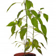 Chili pepper plant in brown pot — Stock Photo #24180769