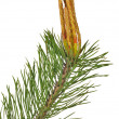 Isolated spring green pine branch — Stock Photo