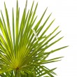 Palm tree green leaves isolated on white — Stock Photo