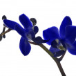 Small dark blue orchid flowers on white — Stock Photo